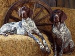 Bluetick_Coonhound_Dogs.jpg