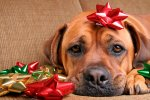 dog-christmas-bows-1.jpg